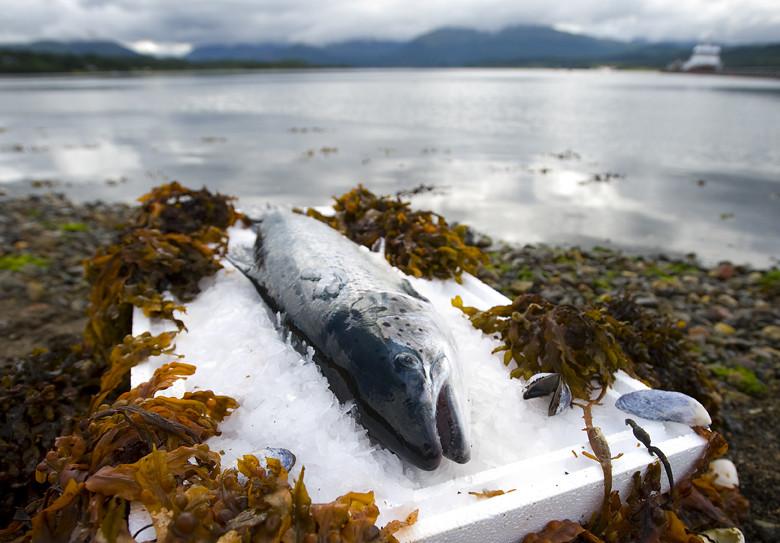 暖化、抗生素、經營不善:在暴利中瀕臨崩潰的養殖漁業