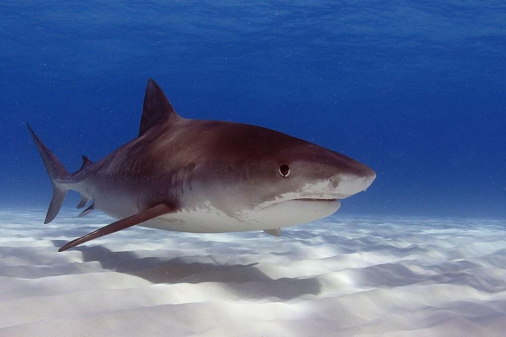 西澳鯊魚灣研究:大型掠食者若消失 恐加劇氣候變遷影響